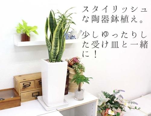 オシャレな観葉植物
