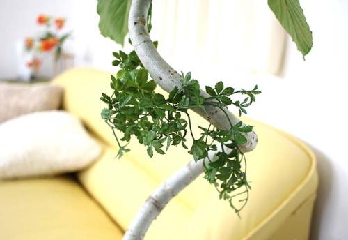 観葉植物の小型サイズ